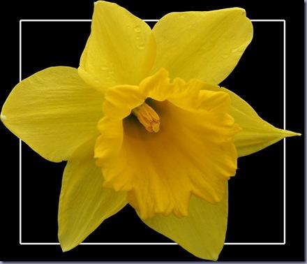 Daffodil 134 framed again