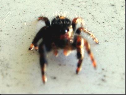 IMG_0162,spider,crop
