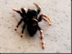 IMG_0153,spider,crop